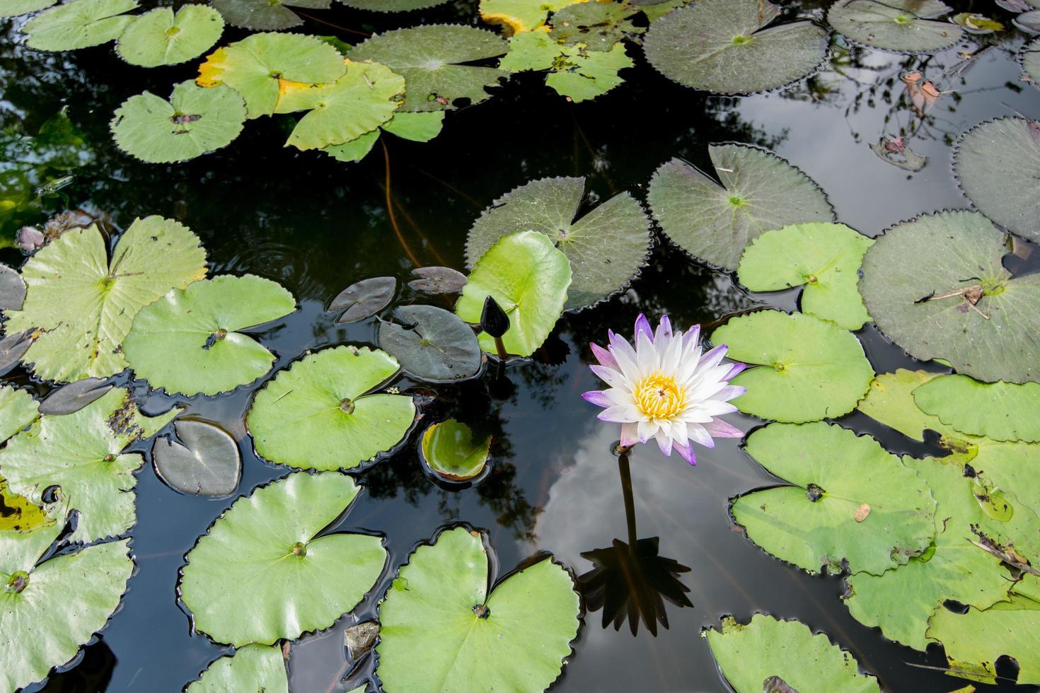 flor de lótus na piscina foto