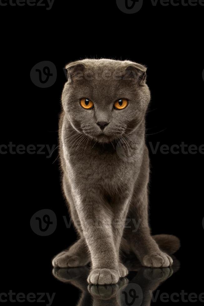 gato dobrado britânico fica engraçado no espelho preto foto