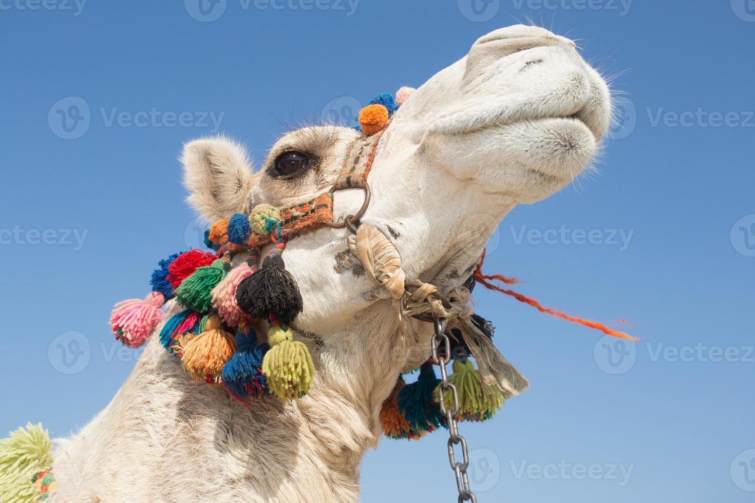 camelo branco foto