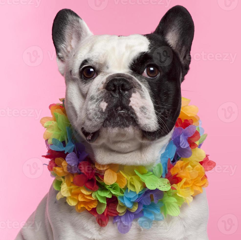 bulldog francês, três anos, usando lei havaiana, fundo rosa. foto