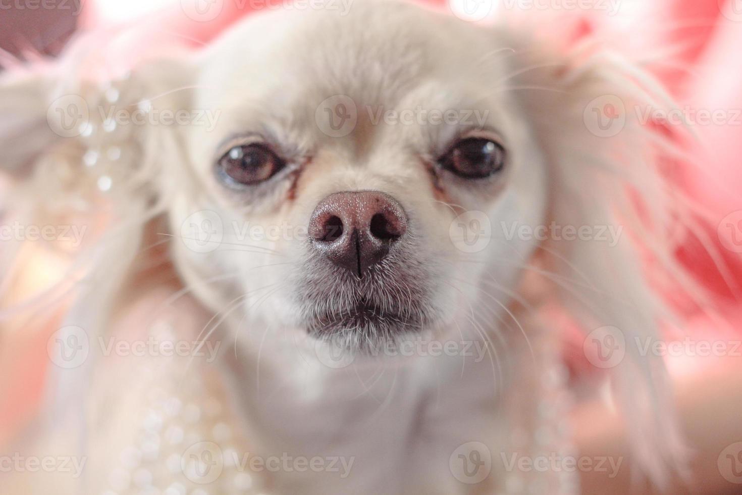 audrey hepburn chihuahua usando pérolas foto
