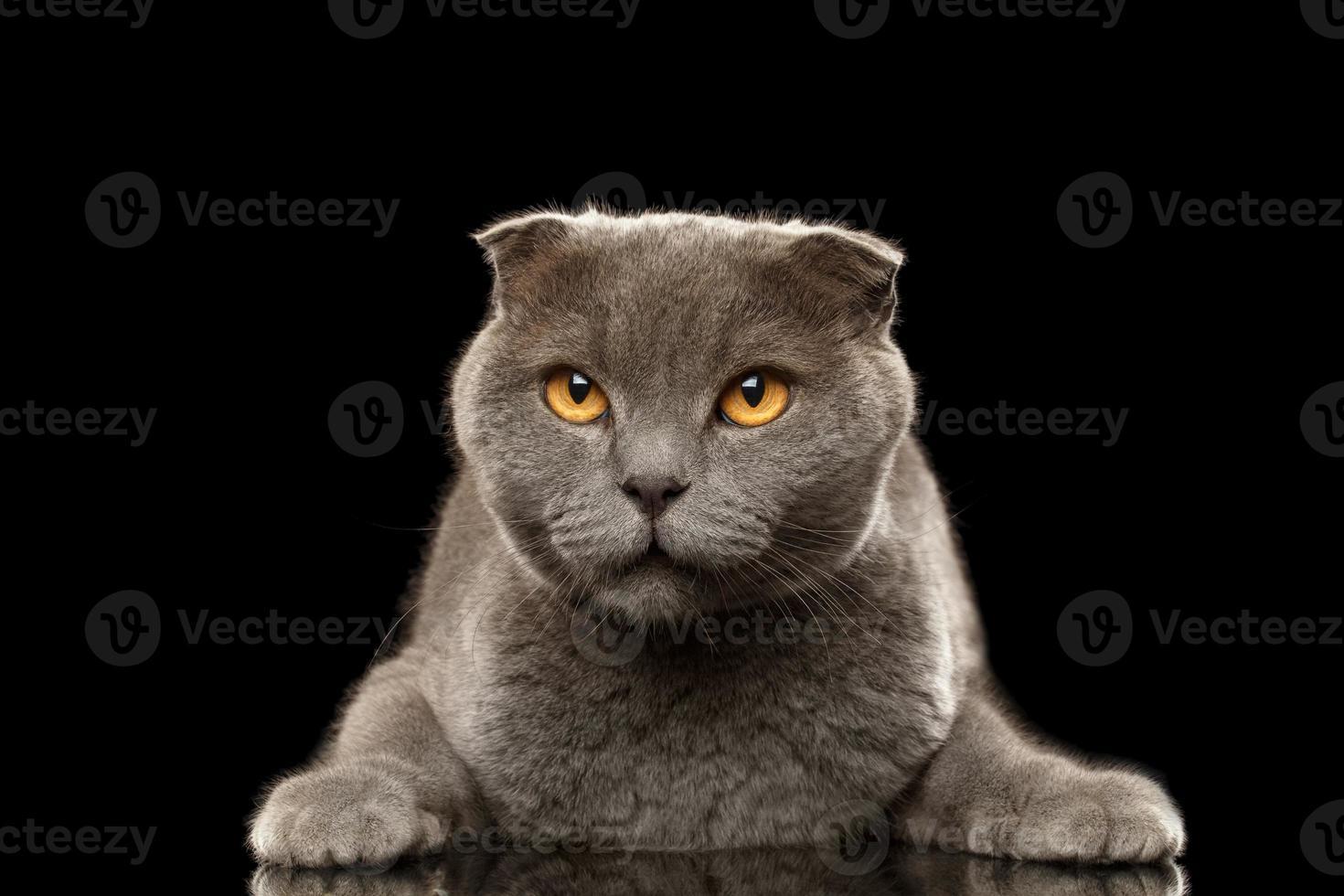 retrato de gato bravo british fold no preto foto
