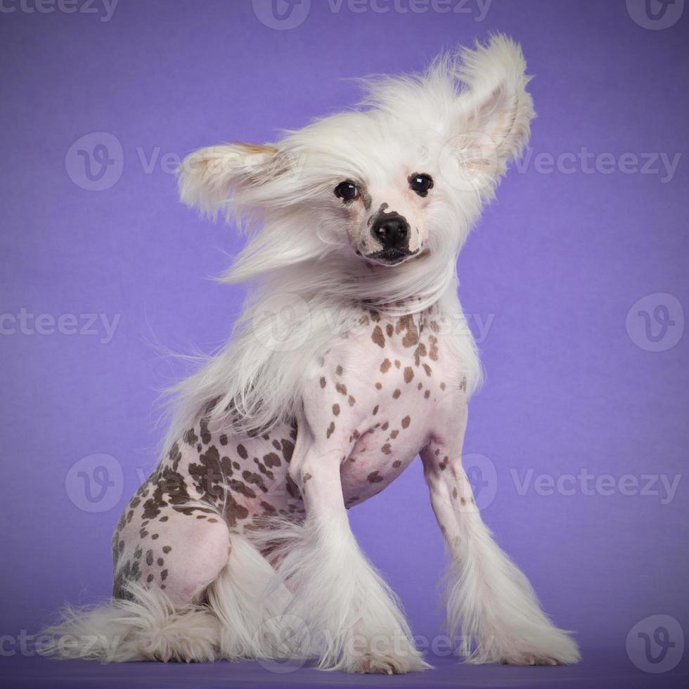cachorro de crista chinês, 9 meses de idade, sentado foto