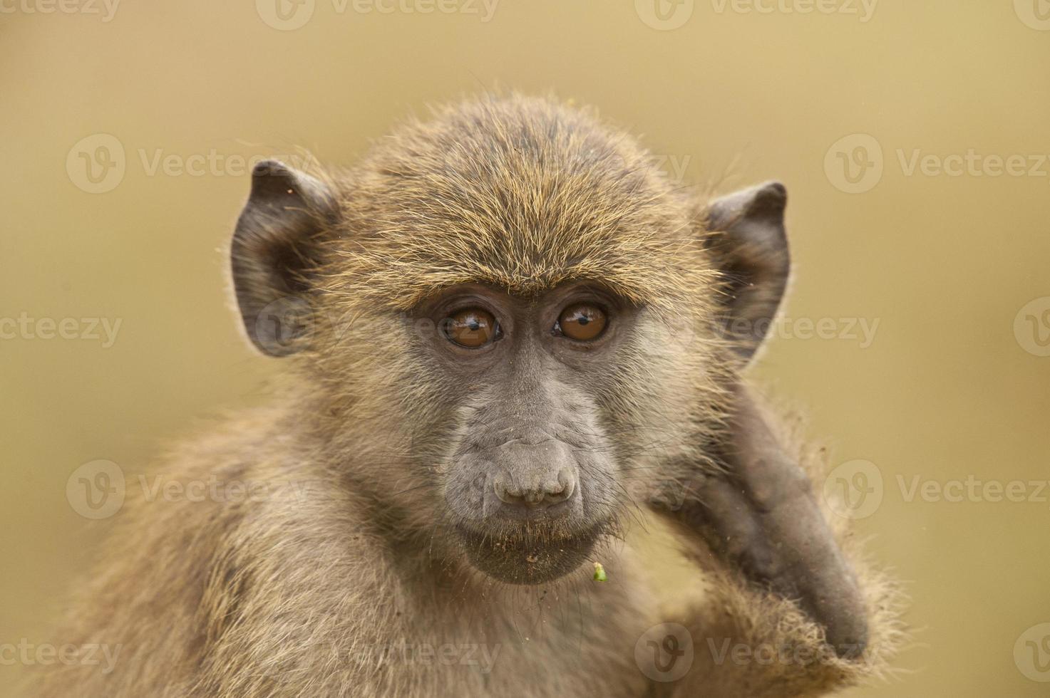 retrato de um babuíno verde-oliva foto