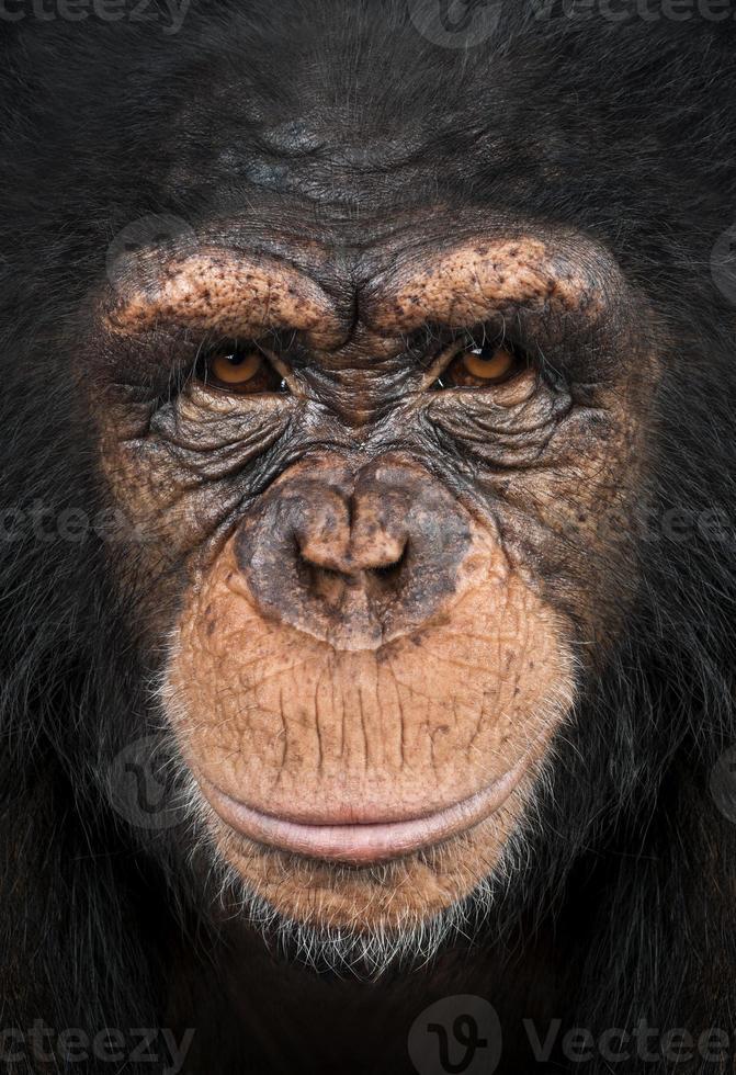 close-up de um chimpanzé olhando para a câmera, pan troglodytes foto