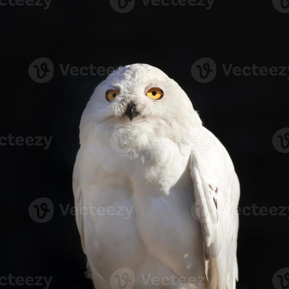 closeup retrato ensolarado brilhante de uma coruja de neve. foto