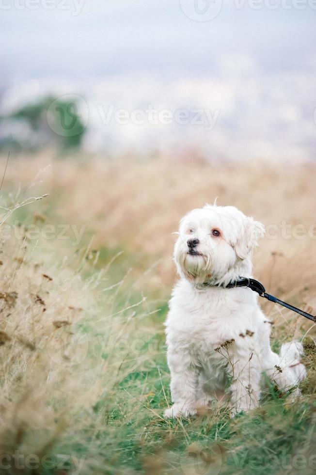 bichon branco e fundo de feno amarelo natural foto