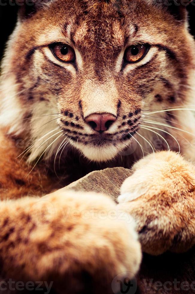 uma visão de perto de um gato lince selvagem na selva foto