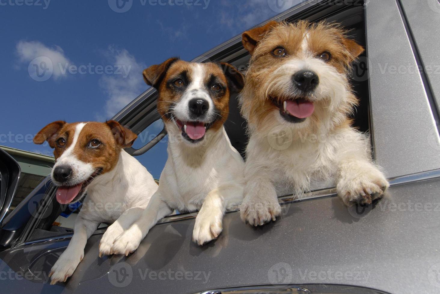 cães excitados na janela do carro, três felizes jack russell terriers foto
