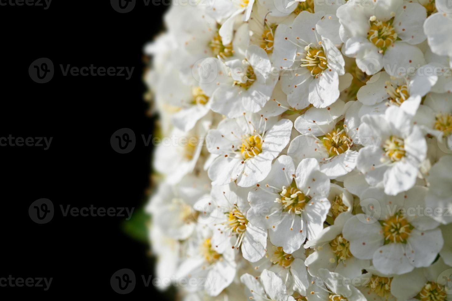 fundo de flores brancas foto