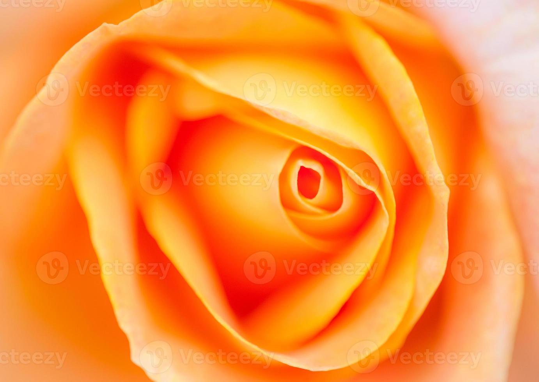 foto romântica muito suave de rosa laranja