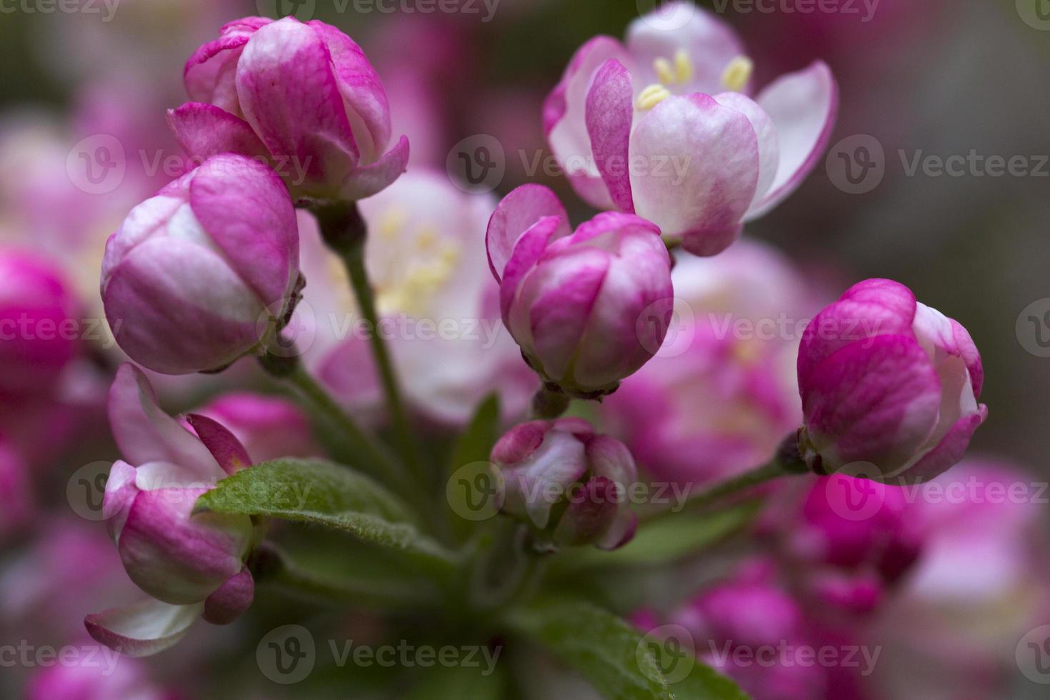 macieira florescendo foto