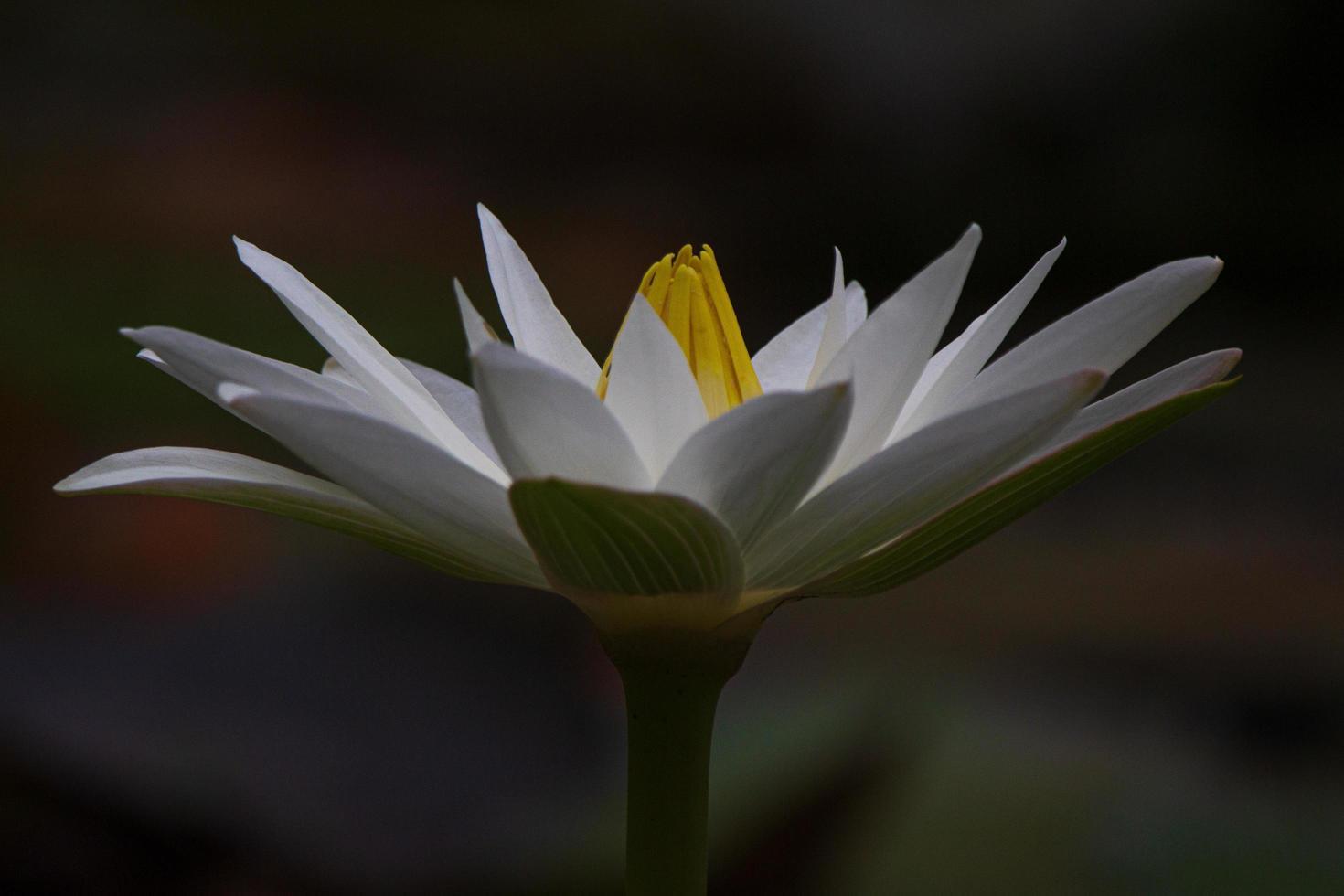 flor de lótus branca à noite foto