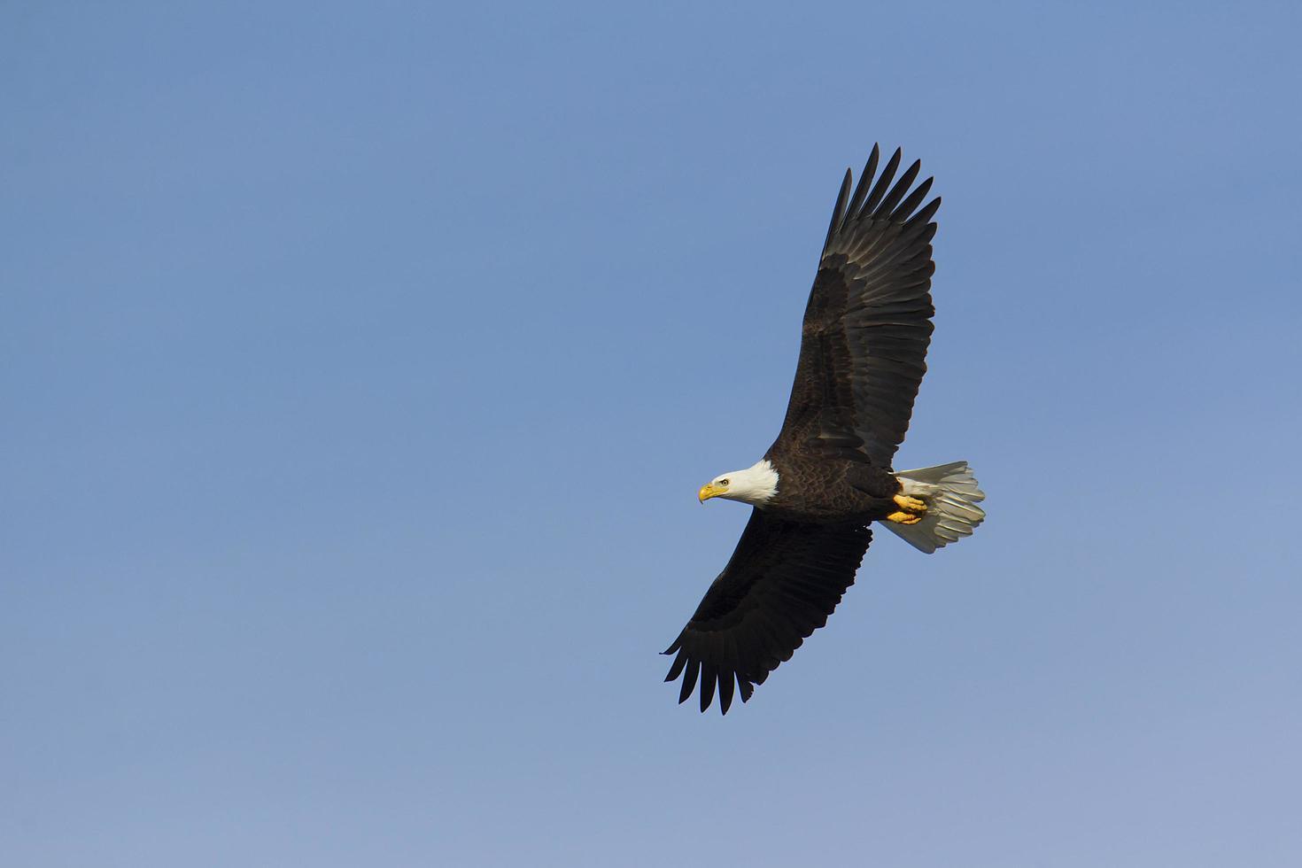 águia-careca adulta sobrevoa foto