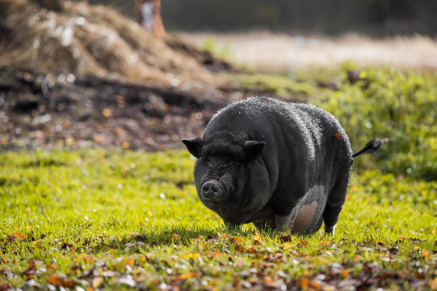 porco preto na grama verde foto