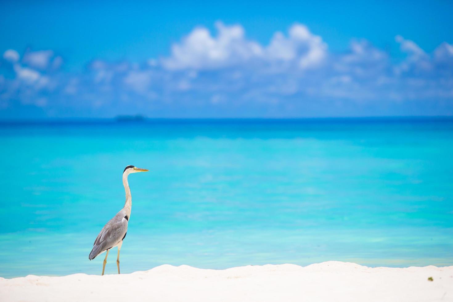 garça-cinzenta na praia foto