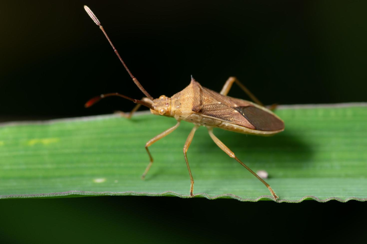 inseto hemiptera na folha foto