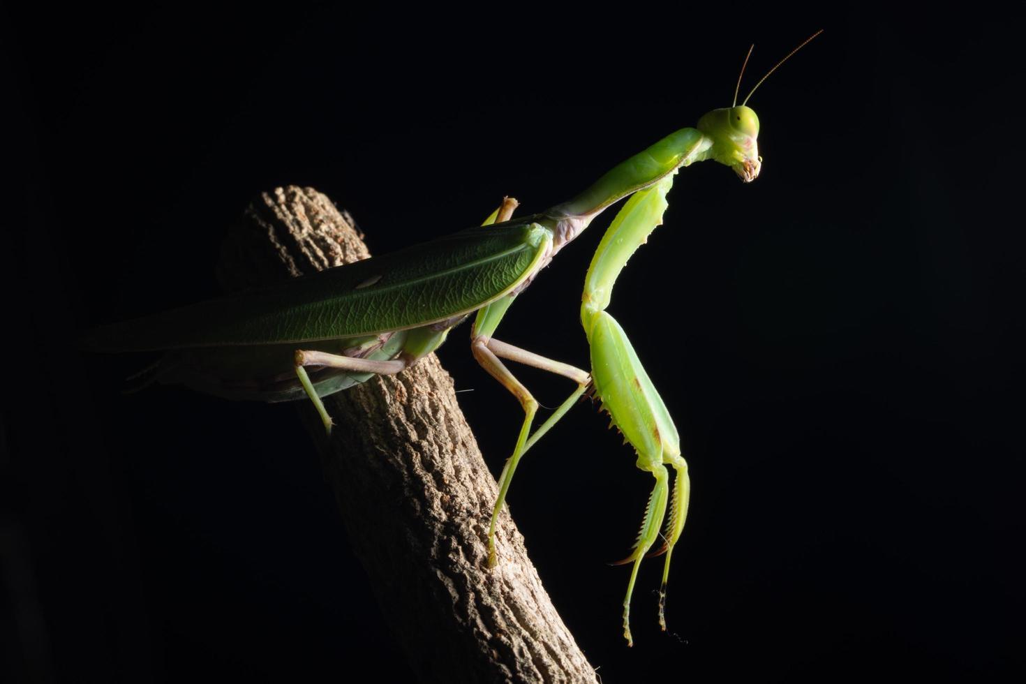 mantis verde em um galho foto