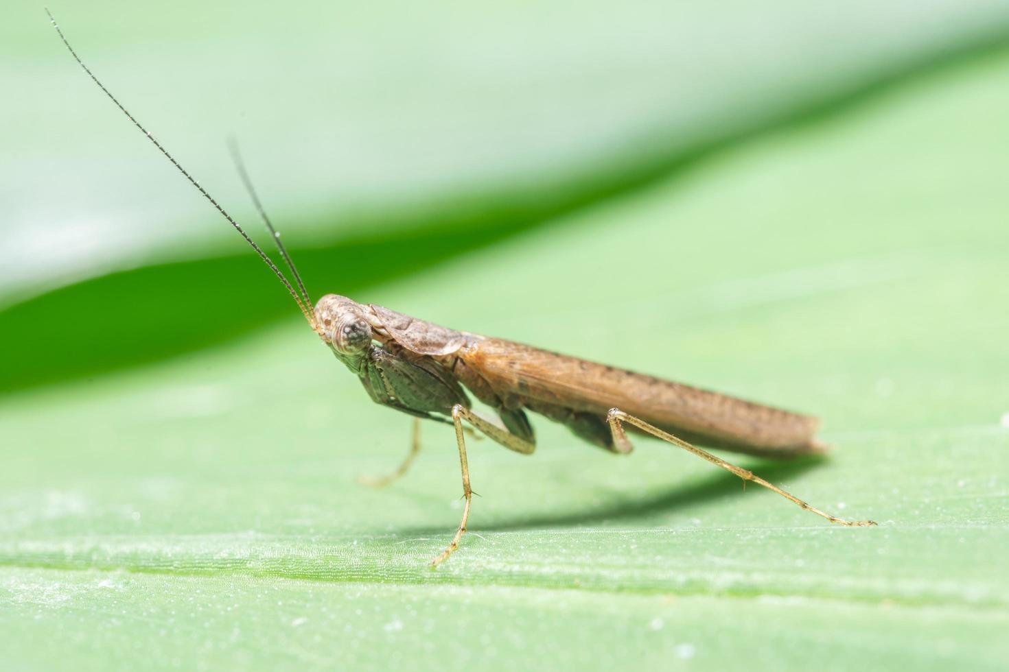 mantis em uma folha foto