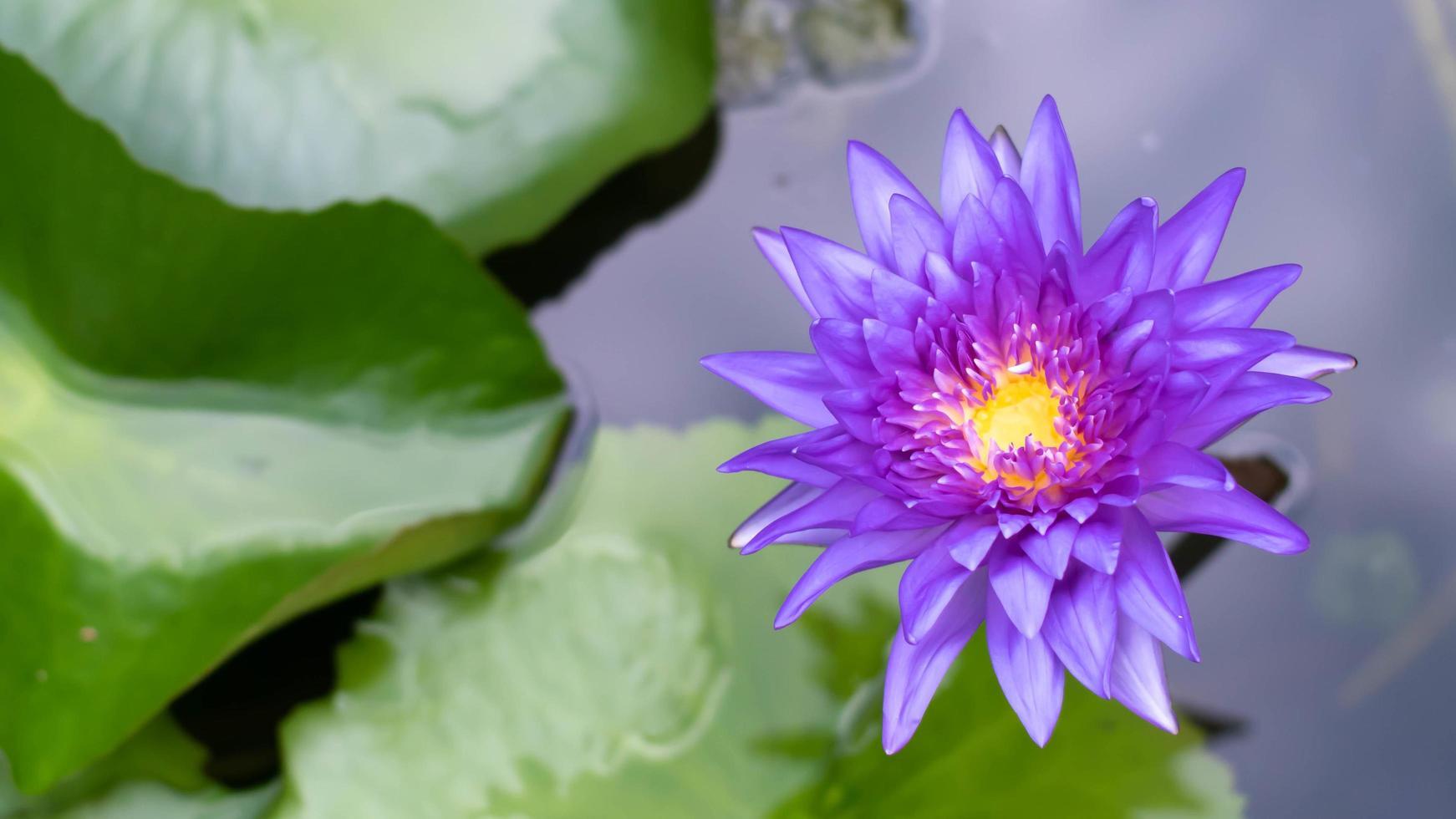 lótus violeta florescendo na lagoa. flores de lótus roxas brilhantes na lagoa. foto