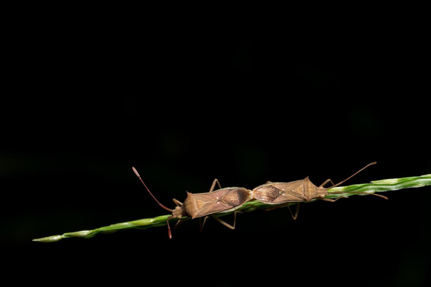 insetos assassinos pretos na grama foto