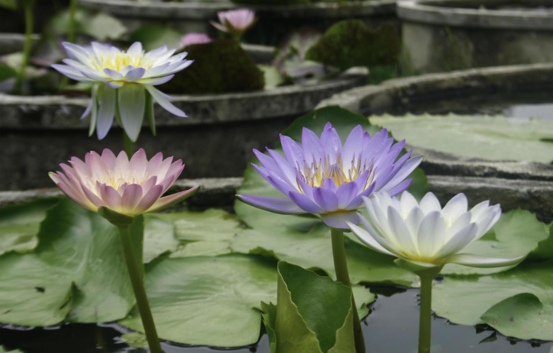 flores de lótus coloridas no lago foto