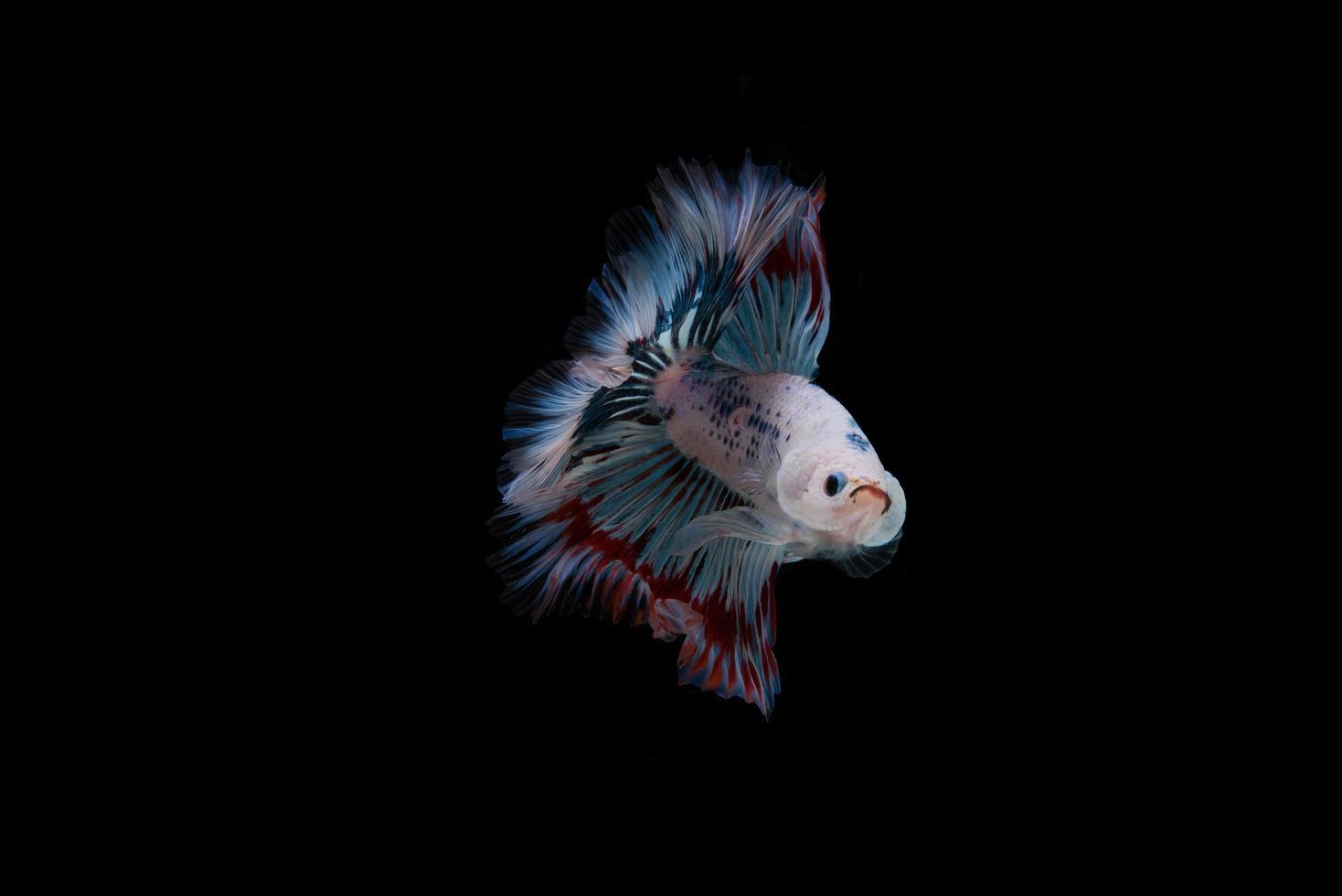 lindo peixe betta siamês colorido foto