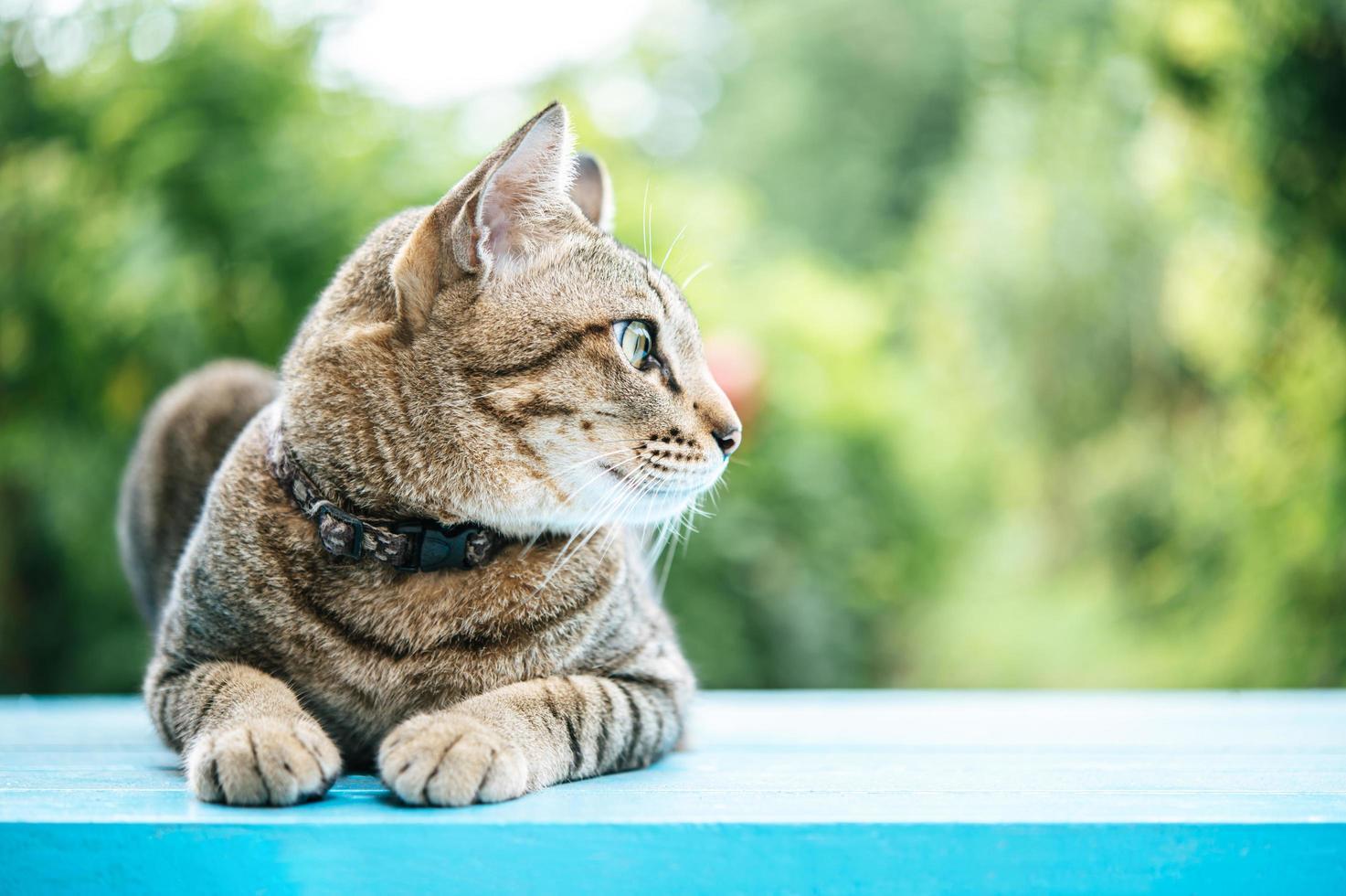close-up de um gato malhado em uma superfície azul foto