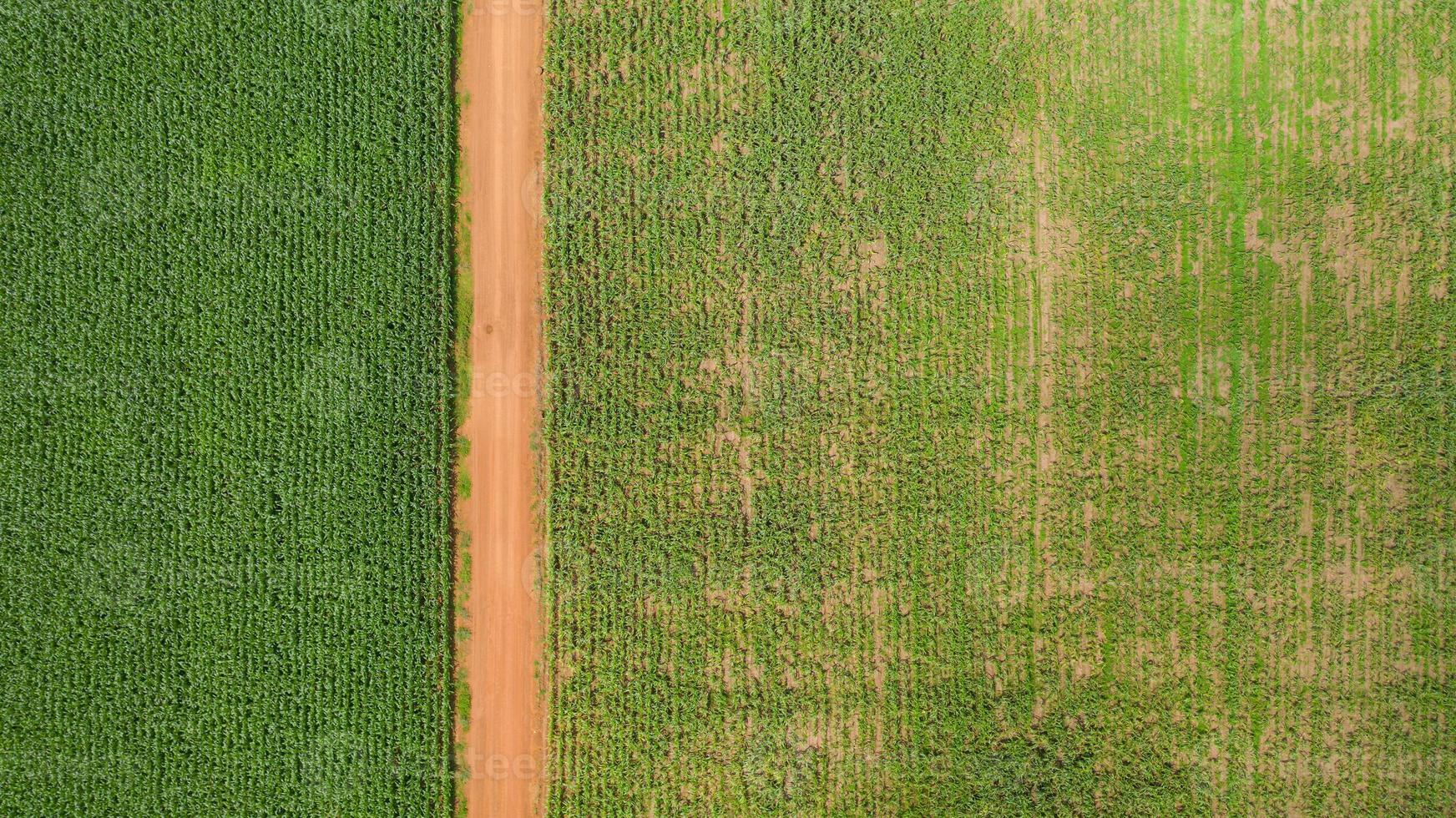 vista aérea de um caminho através de um campo de milho foto
