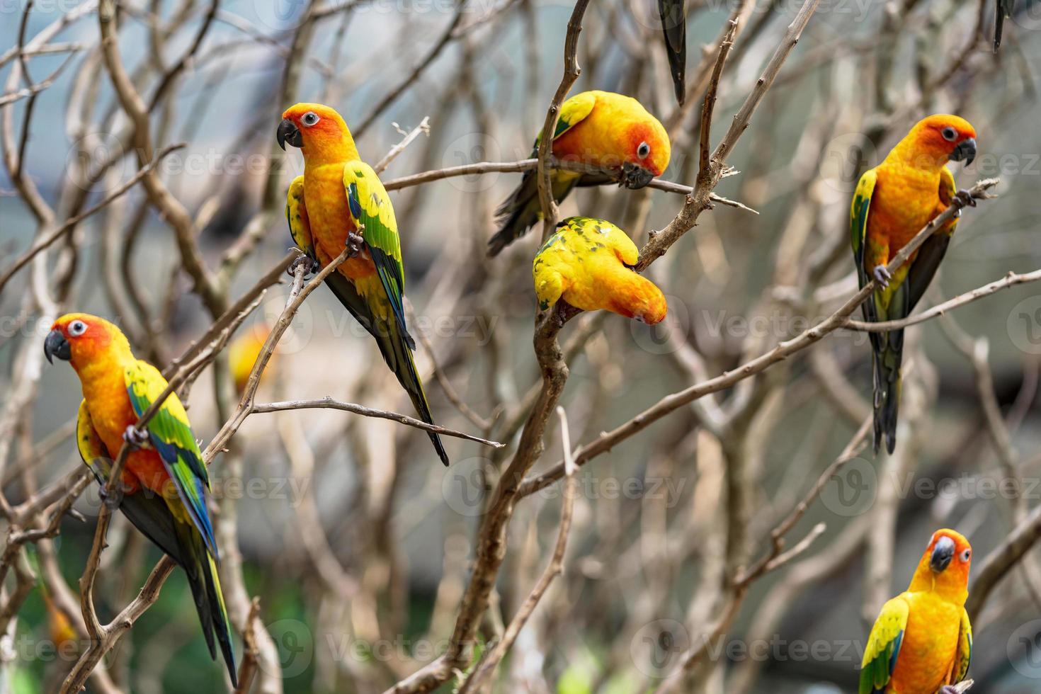 papagaios conure sol em galhos de árvores foto