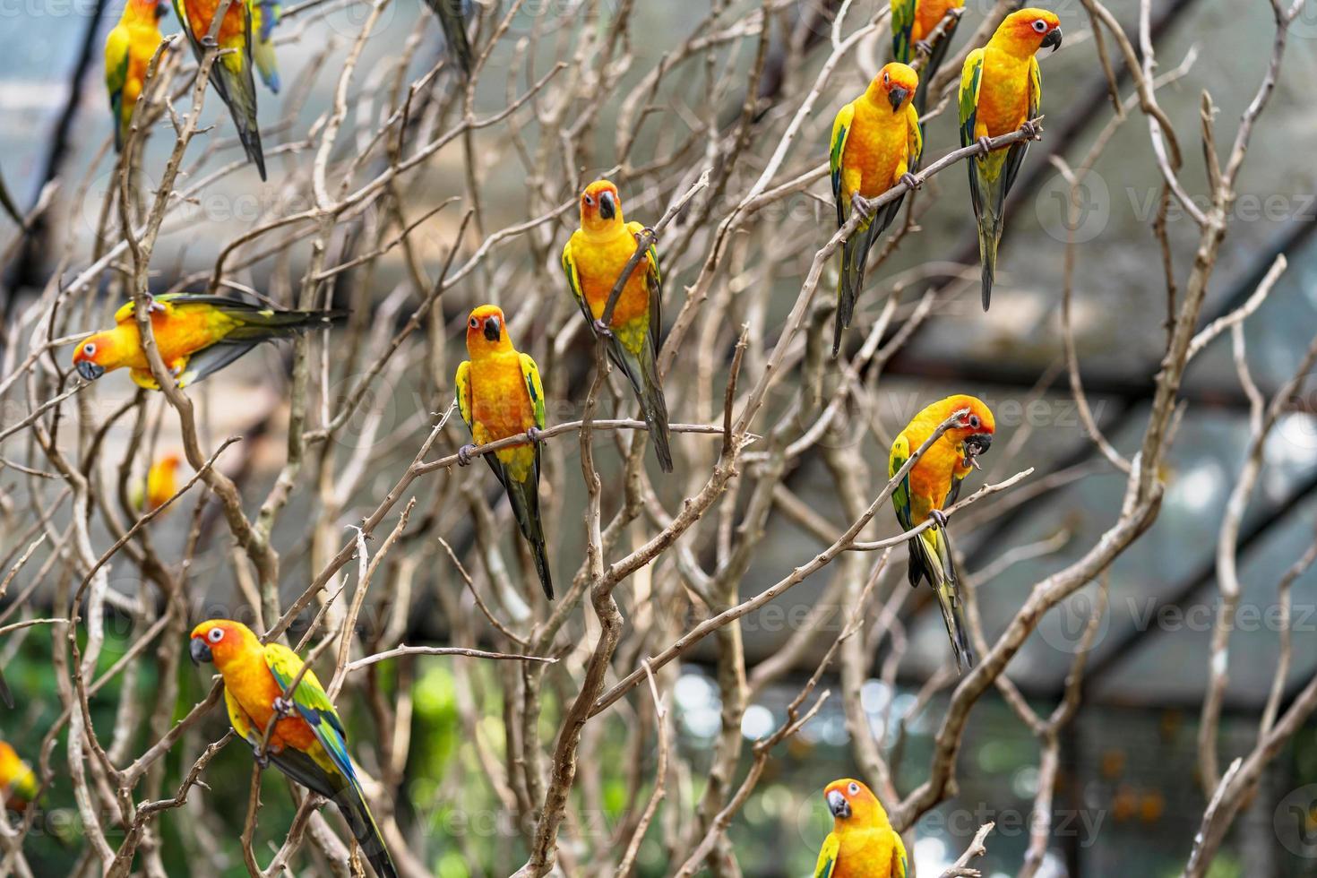grupo de papagaios conure sol em uma árvore foto