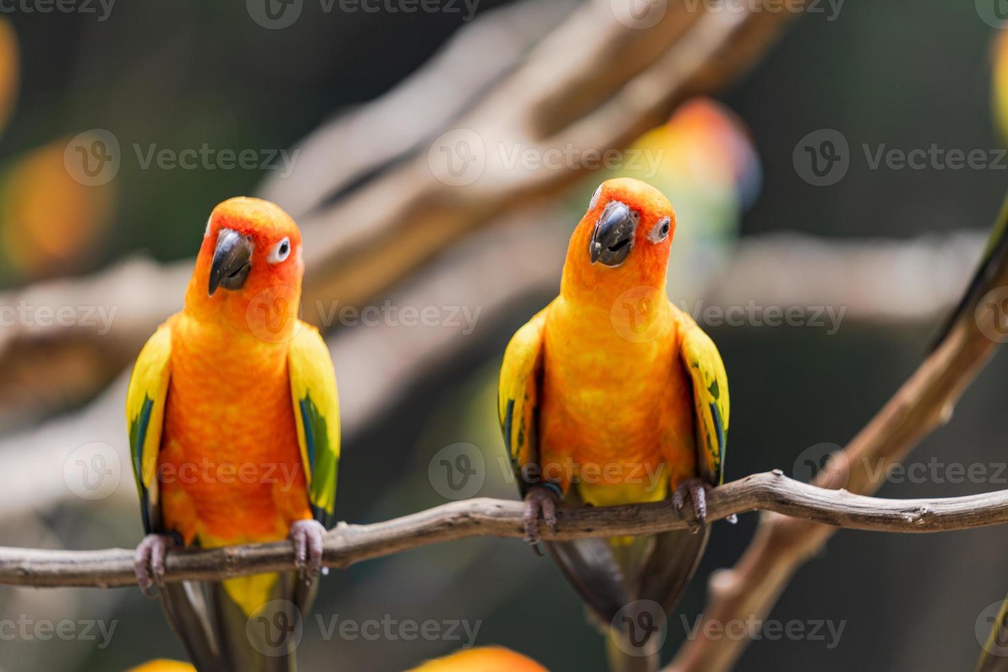 papagaios-do-sol vibrante em um galho de árvore foto