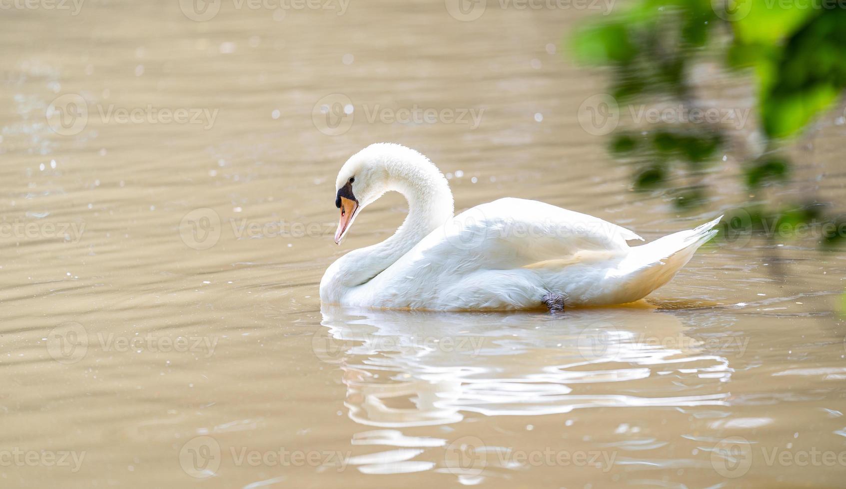cisne branco flutuando em um lago foto