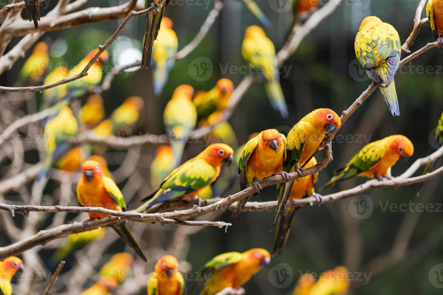lindos papagaios conure sol foto