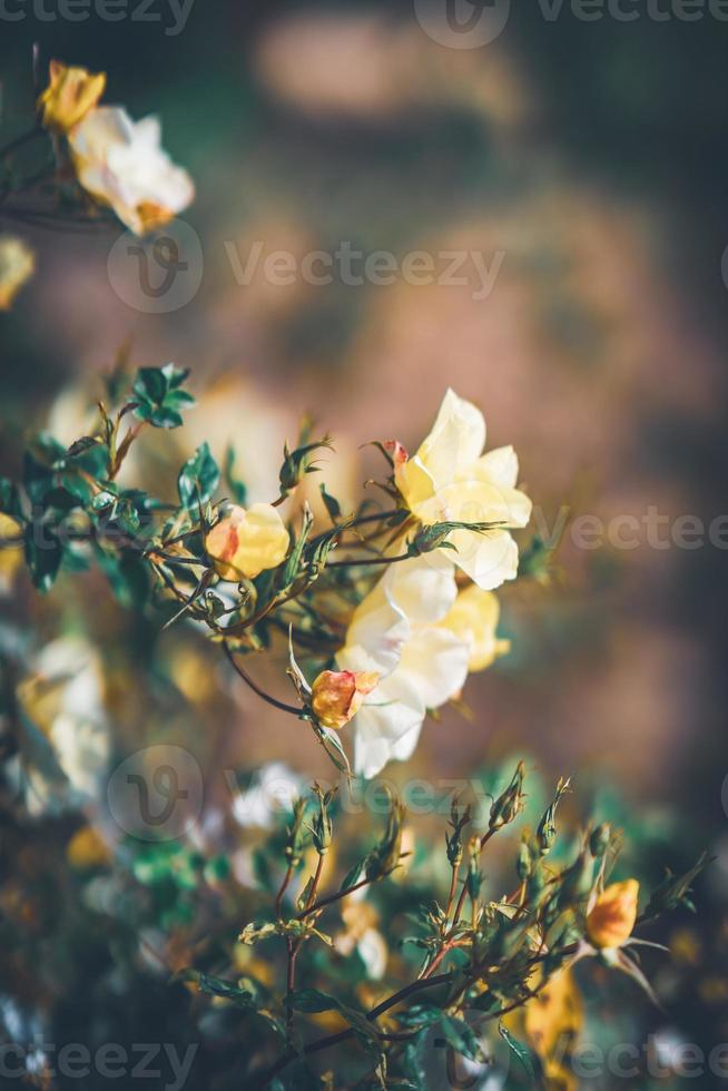 flores de uma mini roseira foto