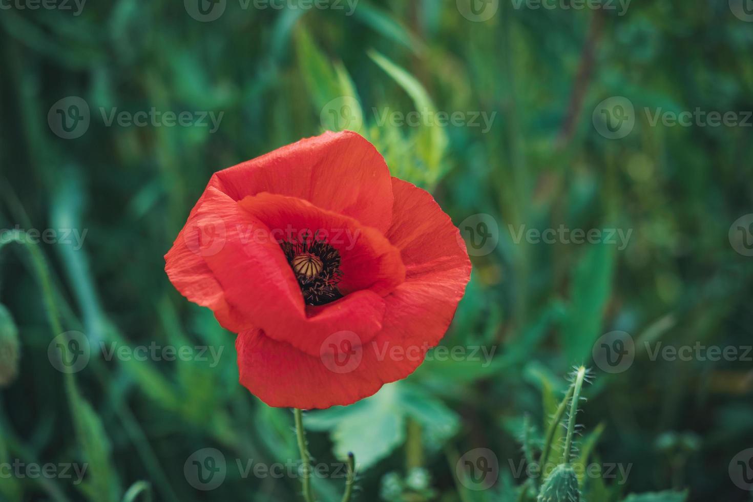 flor de papoula vermelha em um campo de grama alta foto