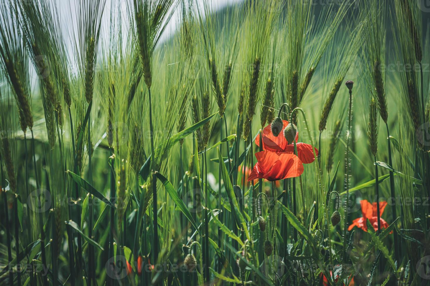 flores de papoula entre espigas verdes de trigo foto