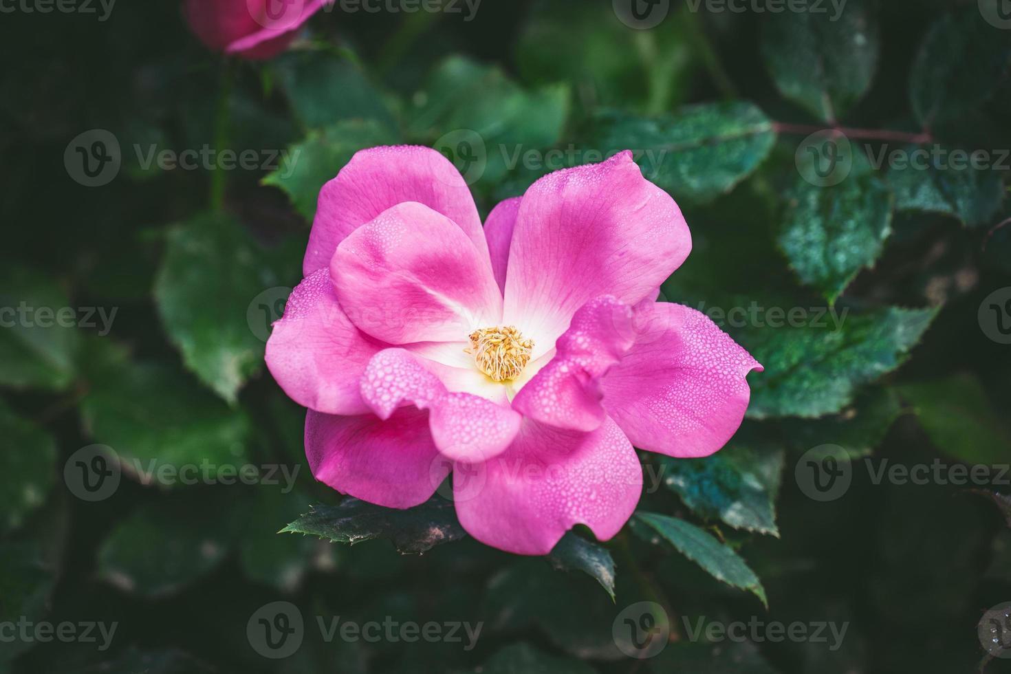 pequena rosa coberta por gotas de orvalho foto
