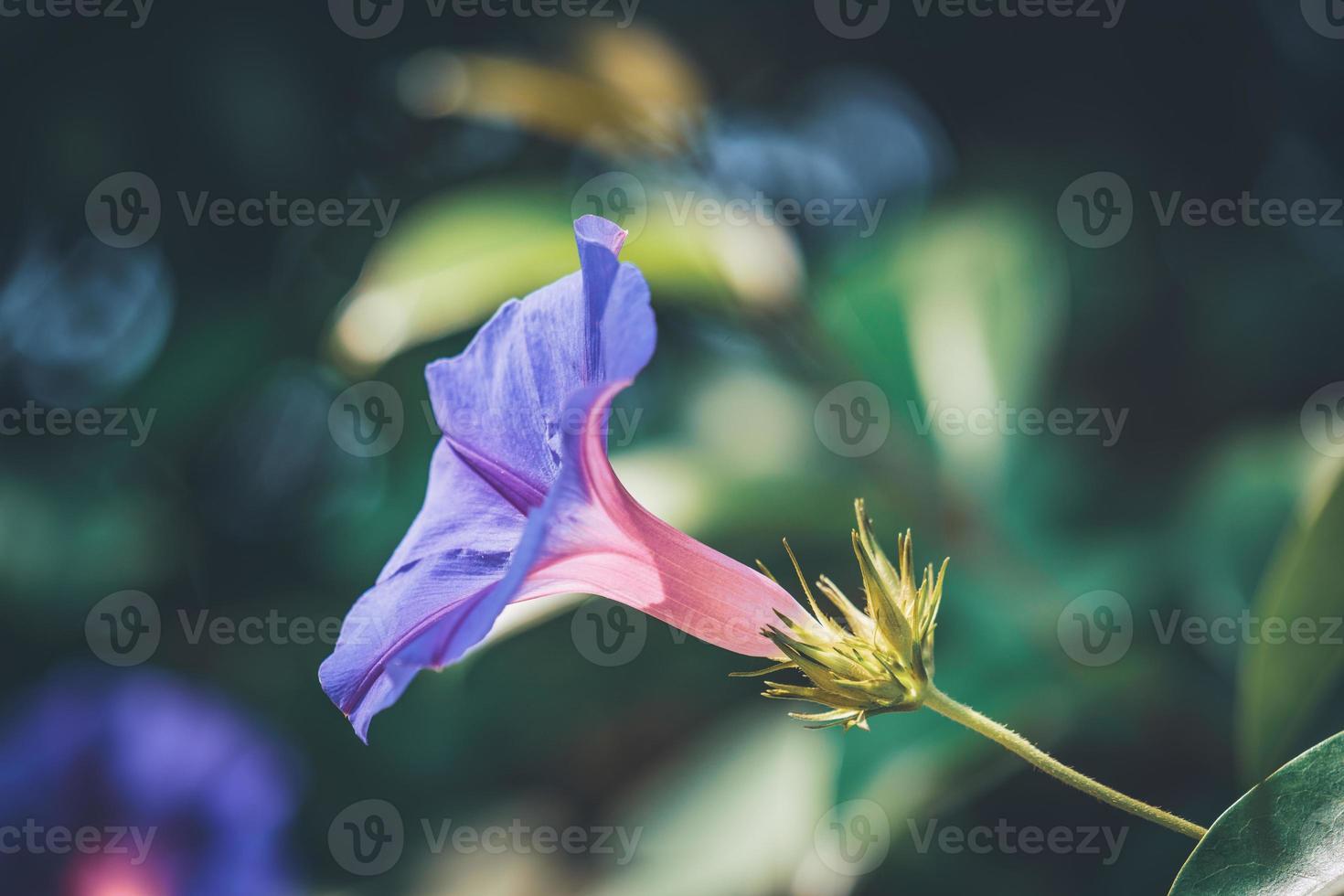 flor roxa da ipomeia em flor foto