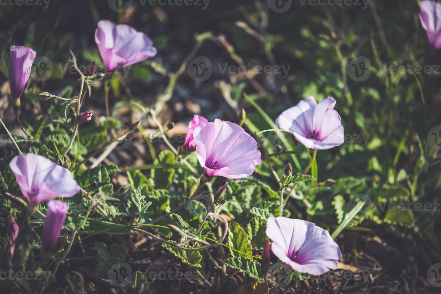 flores rosa de malva trepadeira foto