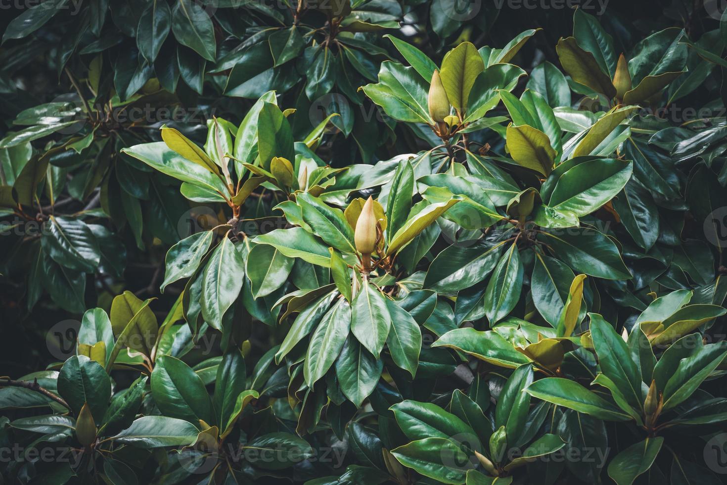 botões de magnólia entre a folhagem verde foto