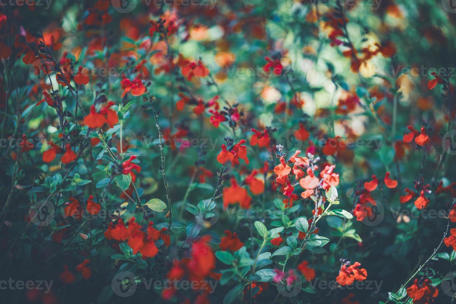 flores vermelhas de sálvia foto