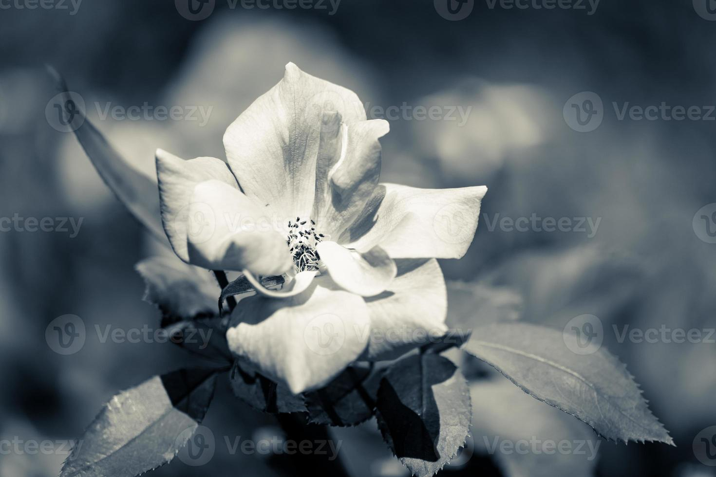 rosa branca em duotônico frio foto