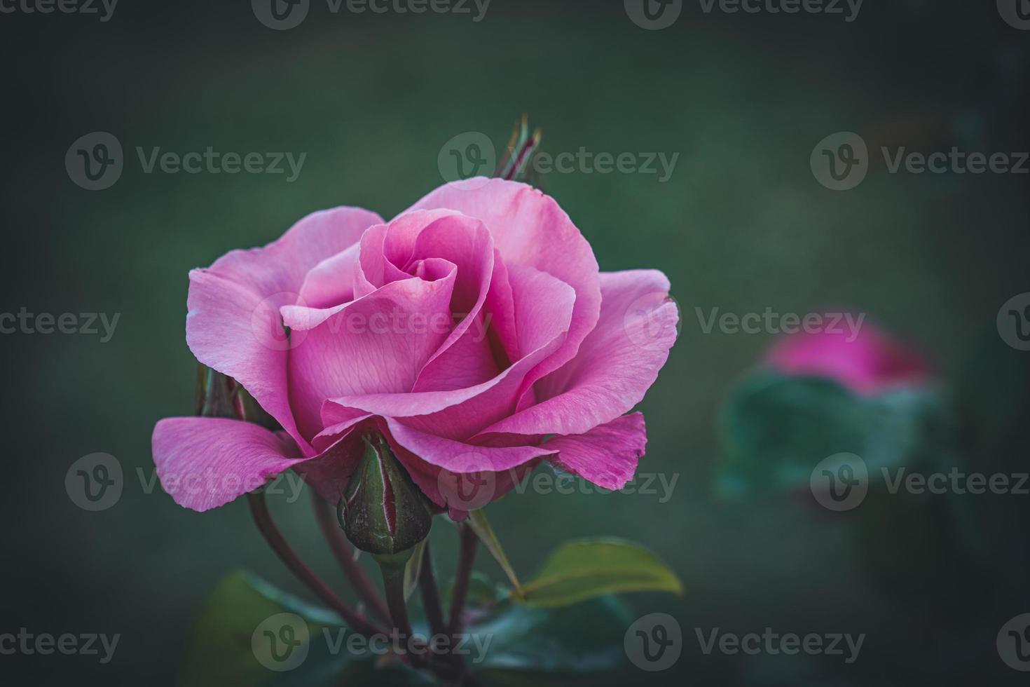 rosa cultivada foto