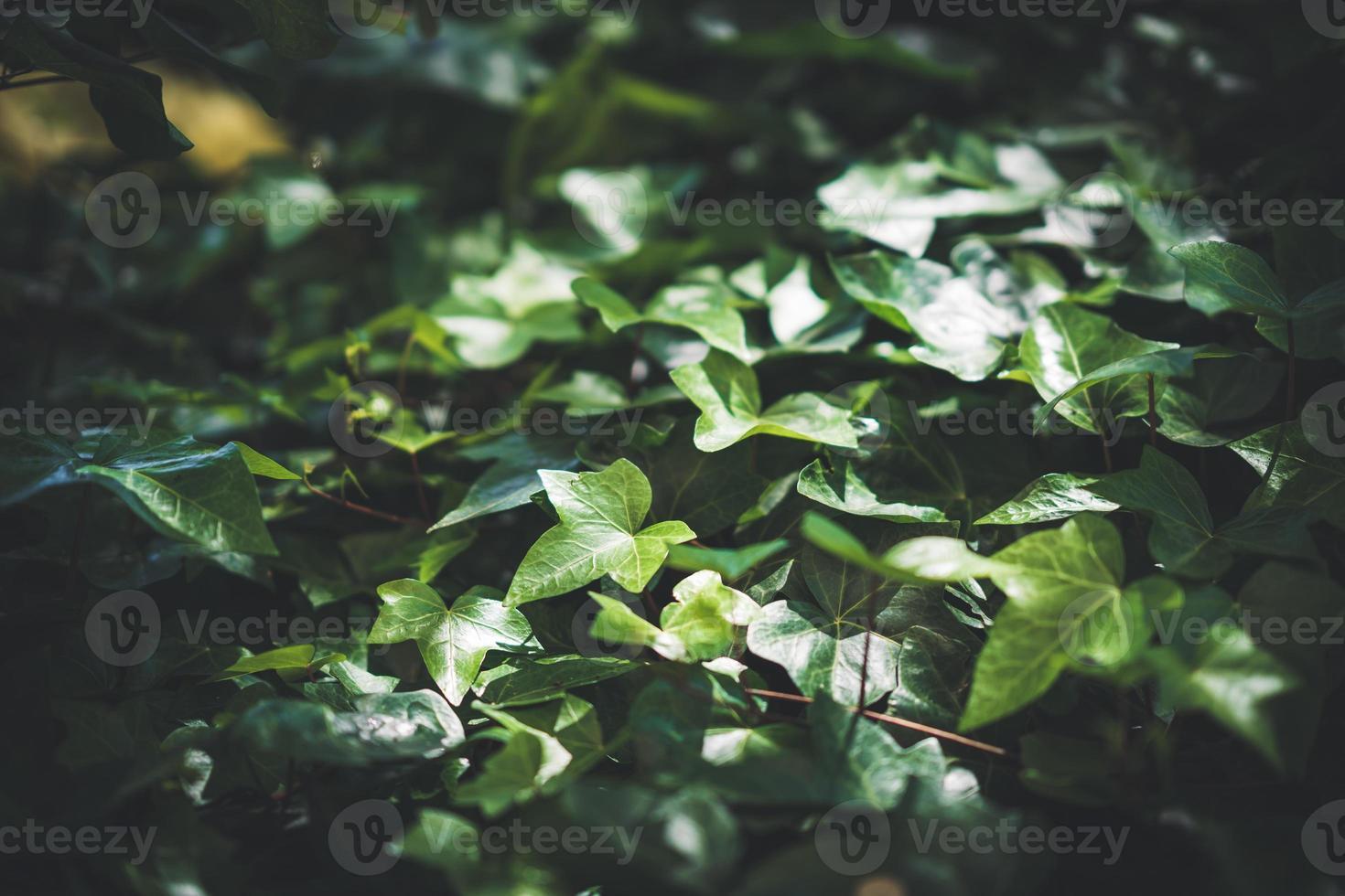 folhas verdes de hera comum foto