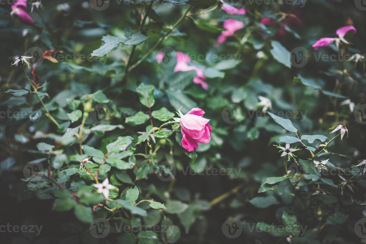 pequena rosa rosa cercada por folhagens foto
