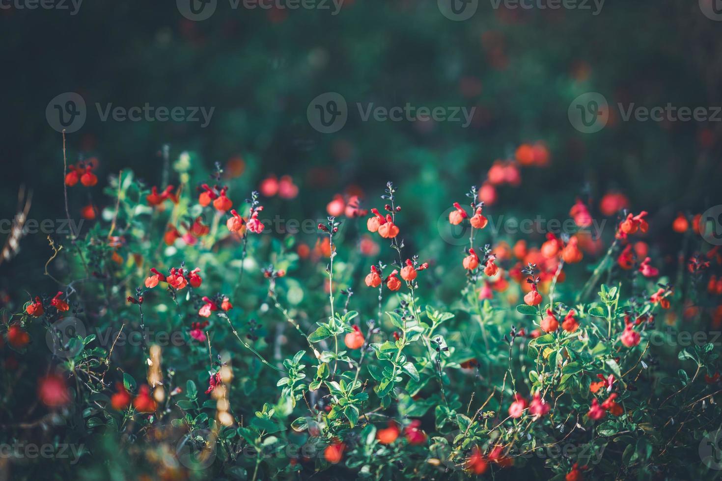 pequenas flores vermelhas de sálvia foto