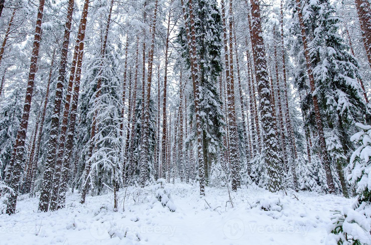 árvores cobertas de neve na floresta de inverno foto