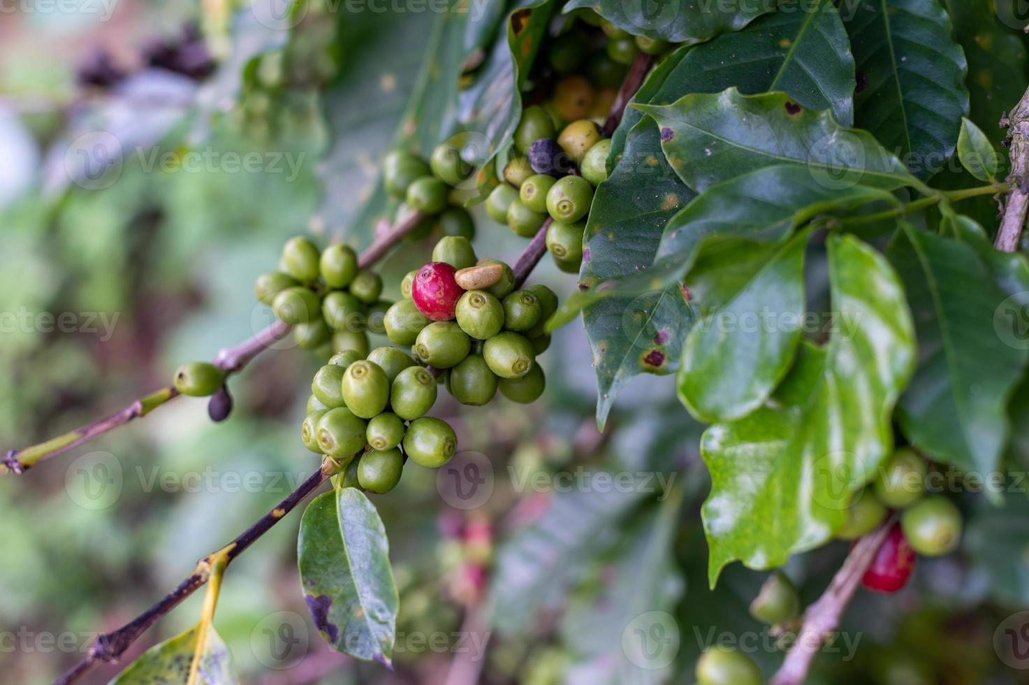 grãos de café verdes em uma árvore foto