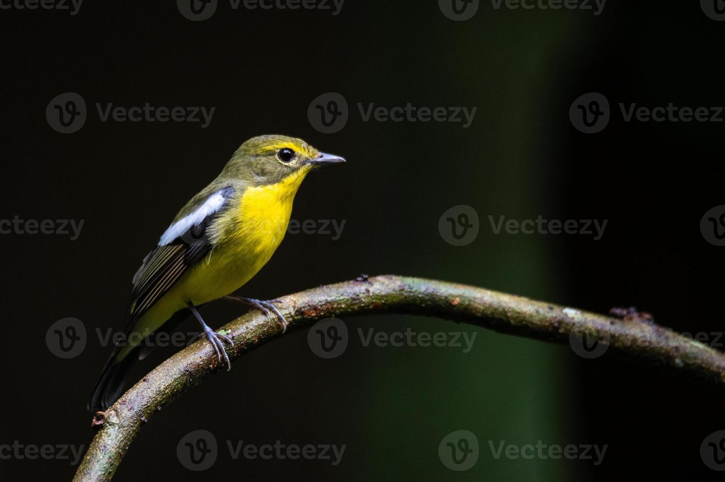 pássaro papa-moscas de dorso verde em galhos com fundo escuro foto